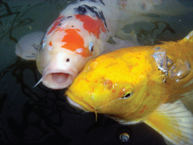 How much and how often should I feed my koi pond fish in Rochester New York (NY)?