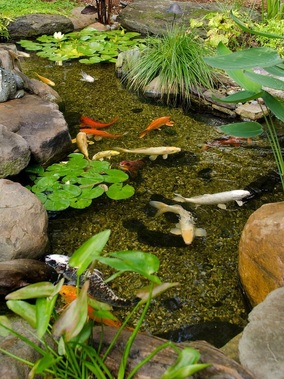 Pond myth 5 pond depth koi henrietta victor ny acorn for Koi pond depth