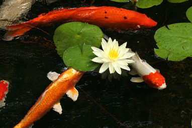Water Lilies Water Garden Plants For Your Pond Rochester Ny Acorn Ponds Waterfalls