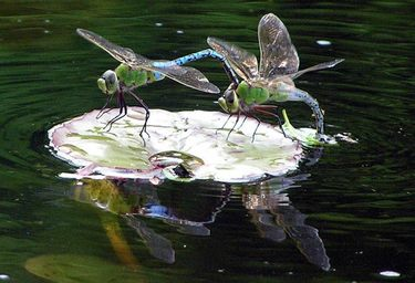 Dragon Flies, Bees, Insects, Mosquitos and Ponds In Rochester New York (NY) By Acorn Ponds & Waterfalls.