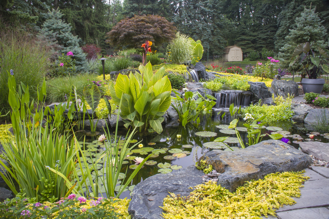 Taro & a mix of aquatic pond plants for water gardens in Rochester, Monroe County NY. Image