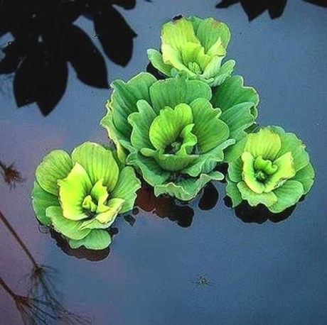 Picture: Water Lettuce For Ponds In Rochester NY By Acorn Ponds & Waterfalls