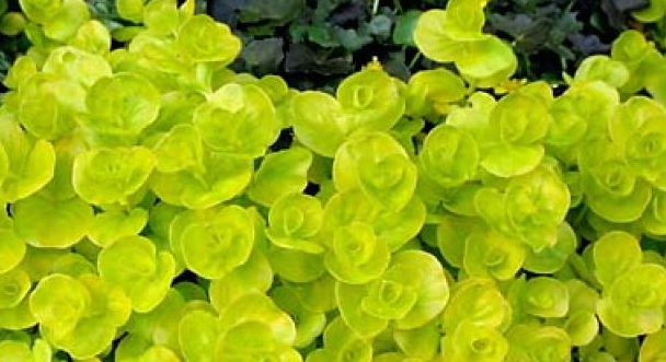 Creeping Jenny water garden plants for Rochester, Monroe County NY. Image