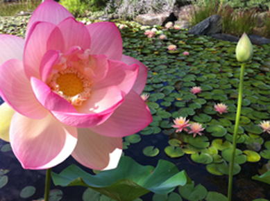 Lotus Water Plants in Rochester, Monroe County, New York (NY)-Acorn Ponds & Waterfalls. Image