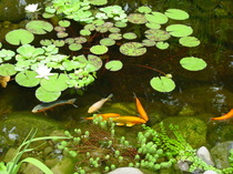 Pond Plants & lilies in Rochester, Monroe County, NY