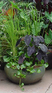 Taro pond plants for container gardens in Rochester, Monroe County NY. Image