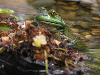Toads, Frogs & Ecosystem Ponds In  Rochester NY By Acorn Ponds & Waterfalls. Image