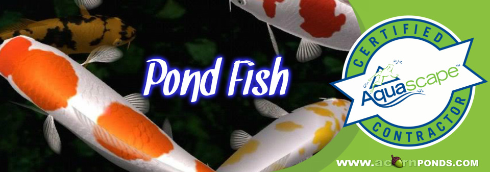 Henrietta, Irondequoit, Mendon, Greece, Chili (NY) Pond Fish - Get help with our fish facts guide. Image