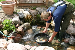 Scheduled & summer koi fish pond maintenance services in Rochester New York (NY) by Acorn Ponds & Waterfalls