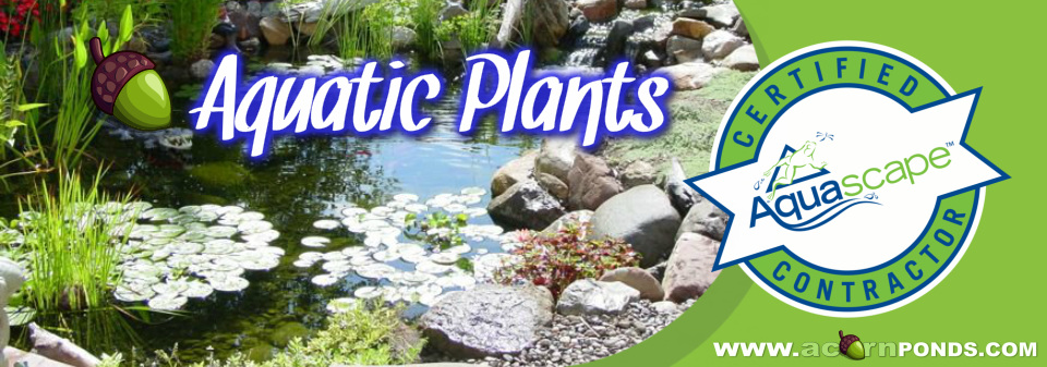 Henrietta, Irondequoit, Mendon, Greece, Chili (NY). Aquatic Plants - Learn how to care for your aquatic pond plants. Image