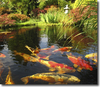 Koi pond services maintenance repair cleaning fairport for Koi pool water gardens thornton