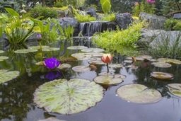 Aquatic pond plants for water gardens in Rochester, Monroe County, New York (NY)