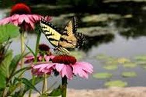Butterfly, Garden Ponds & Wildlife In Rochester NY By Acorn Ponds & Waterfalls. Image