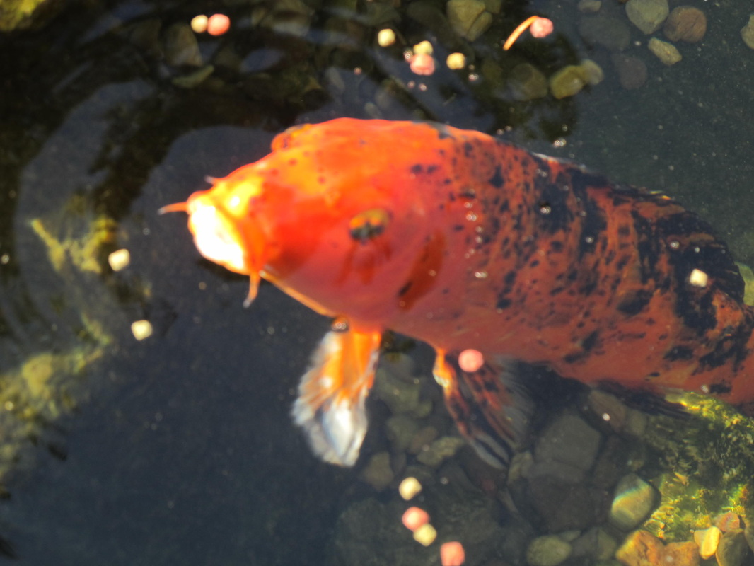 Picture: Koi Pond Maintenance In Chili & Webster, Monroe County NY By Acorn Ponds & Waterfalls