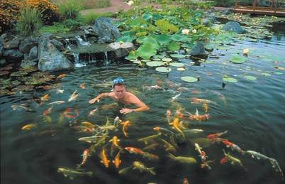 pond ornamental fish goldfish koi fish information advice