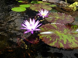 Use tropical pond plants & lilies to enhance your garden ponds in Rochester New York (NY) By Acorn Ponds & Waterfalls