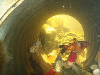 What Does A Fish (KOI) Cave Or Tunnel Look like In Rochester NY Or Near Me?