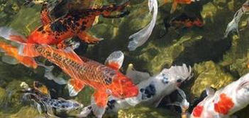 Do My Pond Fish Need Oxygen Or Aeration During The Summer In Rochester NY?
