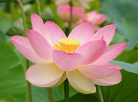 Can I Save My Lotus From The Pond This Fall in Rochester (NY) or near me?