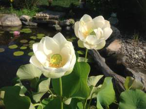 Lotus Pond Plant Rochester (NY) New York Near Me