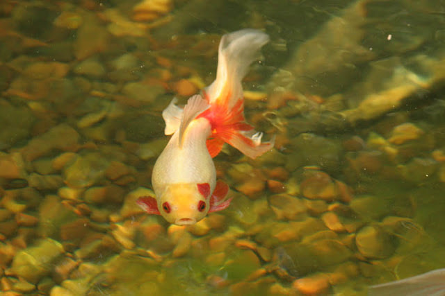 Stunning Koi Pond Fish In Rochester New York (NY) or Near You