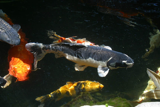 Naming Your Koi Pond Fish In Rochester New York (NY) or Near You