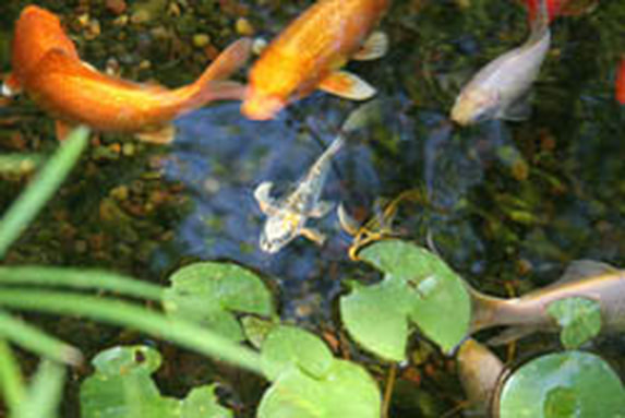 Baby Koi Pond Fish In Rochester New York (NY) or Near You